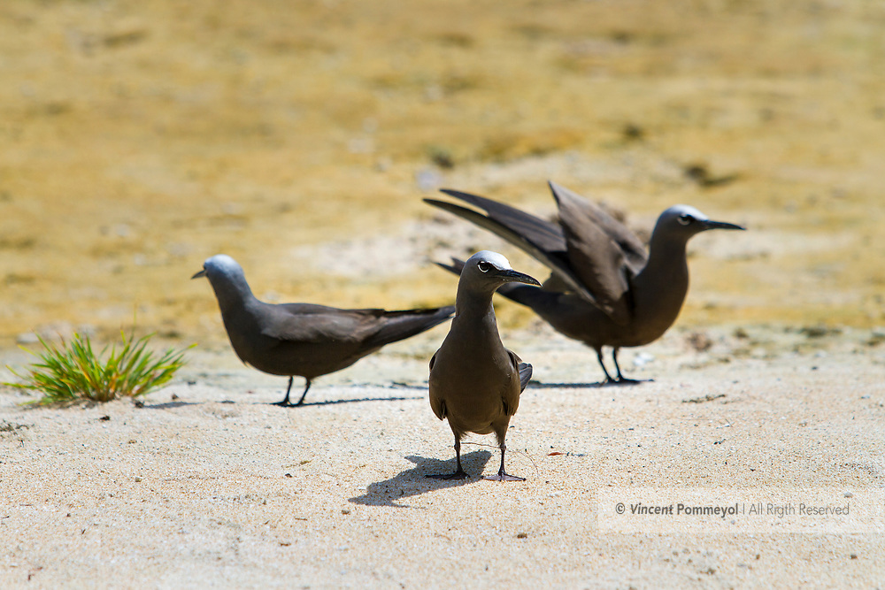 Brown noddy (Anous stolidus), Rangiroa atoll, French Polynesia.