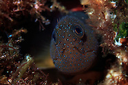 Cirripectes alboapicalis (White-dot blenny)