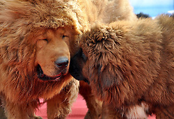 Two Tibetan mastiffs play at the 2nd Handan Tibetan mastiff exhibition Handan, north China's Hebei Province, The exhibition, with nearly 400 Tibetan mastiffs attended, kicked off on Saturday March 23, 2013. Photo by Imago / i-Images...UK ONLY.