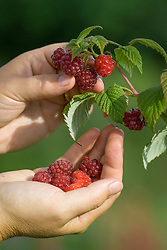 Hand picking Raspberry 'Autumn Bliss'