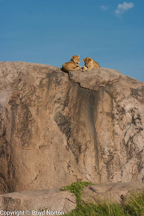 Lion cubs rest atop a kopje (rock outcrop), Serengeti Nationa Park, Tanzania