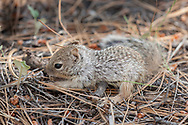 Young rock squirrel forages on the floor of a of a ponderosa pine forest, Kaibab National Forest, AZ, © 2006 David A. Ponton