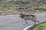 Gray Wolf crossing a highway in Wyoming.