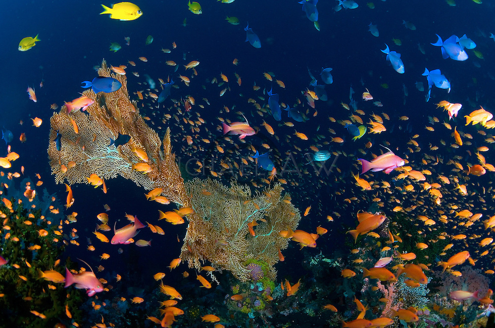 Sea fan coverage, Reef slope.Verde Island