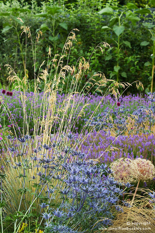 Helictotrichon sempervirens with Eryngium x zabelii at Broughton Grange. Blue oat grass