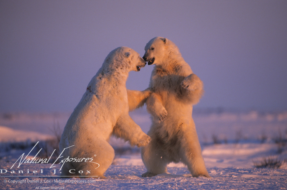 Polar Bear wrestling in Churchill, Manitoba, Canada.