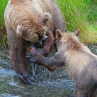 USA, Alaska, Katmai. Brown Bear Cub Swiping at Sow for Fish at Brooks Falls.