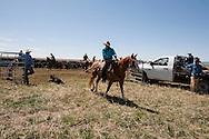 Cowboys, dragging calves to the fire, branding, Lazy SR Ranch, Wilsall, Montana, Jim Logan