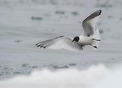 Sabine's Gull (Xema sabini) in Svalbard