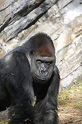 This is a photograph of a Silverback Gorilla.