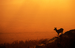 Red deer hind (Cervus elaphus) at sunset, Bradgate Country Park, Leicestershire, England, UK.