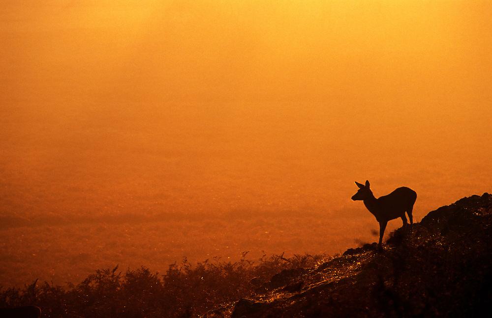 Red deer hind (Cervus elaphus) at sunset, Bradgate Country Park, Leicestershire, England, UK.