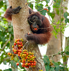 A male orangutan (orang-outan) eats wild fig near the Kinabatangan river, on August 5, 2019 near Sandakan city, State of Sabah, North of Borneo Island, Malaysia. Palm oil plantations are cutting down primary and secondary forests vital as habitat for wildlife including the critically endangered Bornean and Sumatran orangutans. Photo by Emy/ABACAPRESS.COM