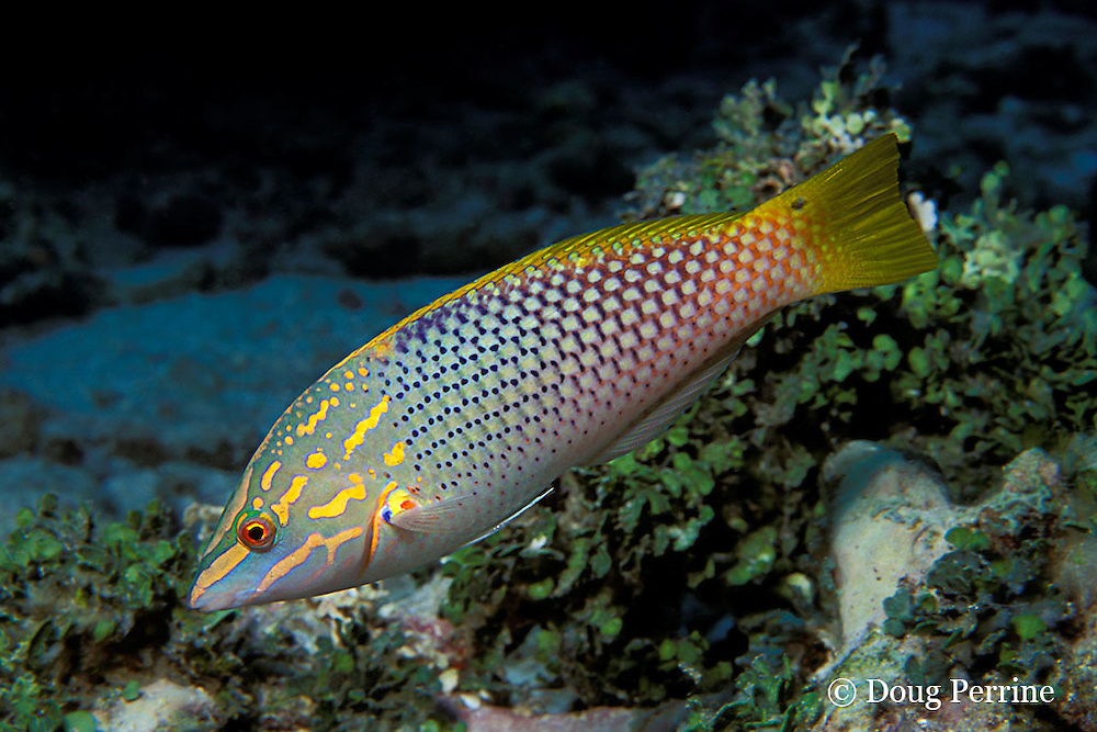 Indian Ocean pinstriped wrasse,Halichoeres vrolikii, Similan Islands. Thailand ( Andaman Sea - Indian Ocean )
