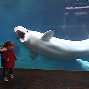 Juno, a Beluga Whale, greets young viewers at the viewing window at Mystic Aquarium. Juno is one of three Beluga Whales at Mystic Aquarium, Mystic, Connecticut. USA. 3rd December 2015. Photo Tim Clayton