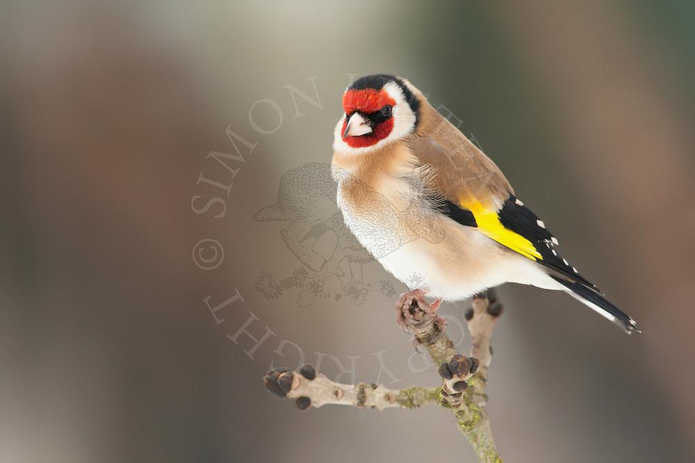 European Goldfinch (Carduelis carduelis) adult, perched on twig, winter, Norfolk, UK.