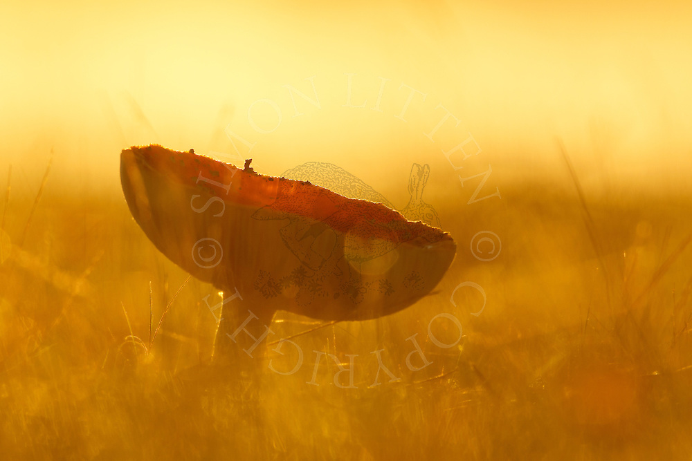 Fly Agaric (Amanita muscaria) fruiting body, growing in short grass at dawn, Norfolk, UK.