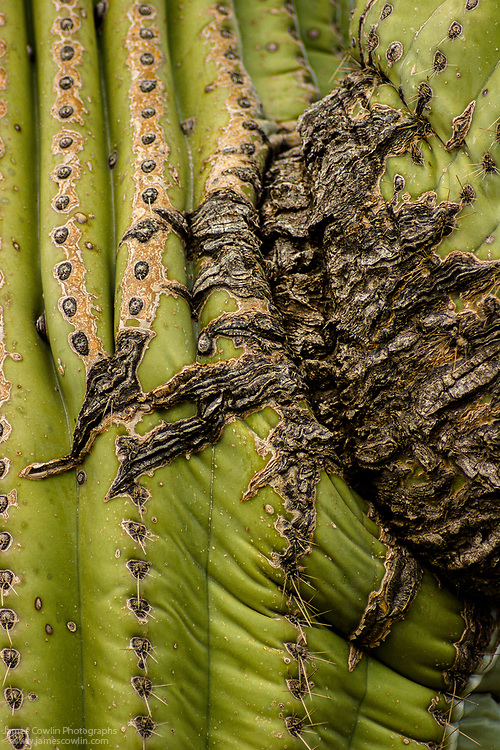 Close up of scar on a saguaro cactus in Saguaro National Park, Arizona
