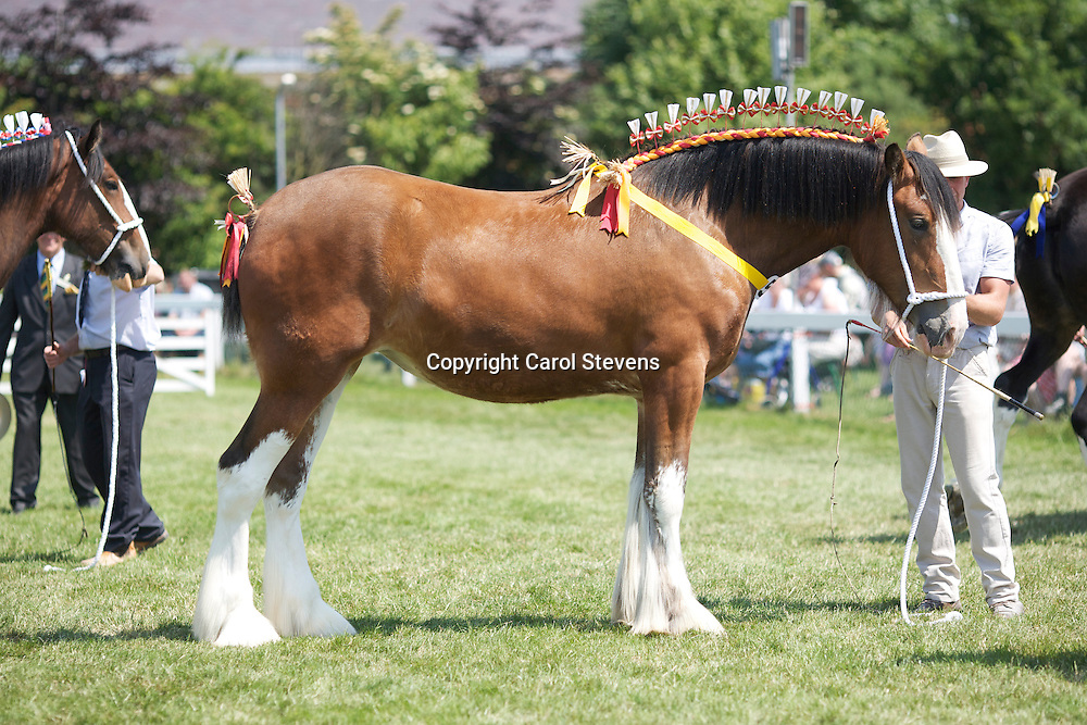 Richard Bedford's 2 year old Hartcliff Rihanna shown by son Robert<br /> s Boothay Richard<br /> <br /> Reserve Champion Shire<br /> Winner  2 year old Filly or Gelding Class