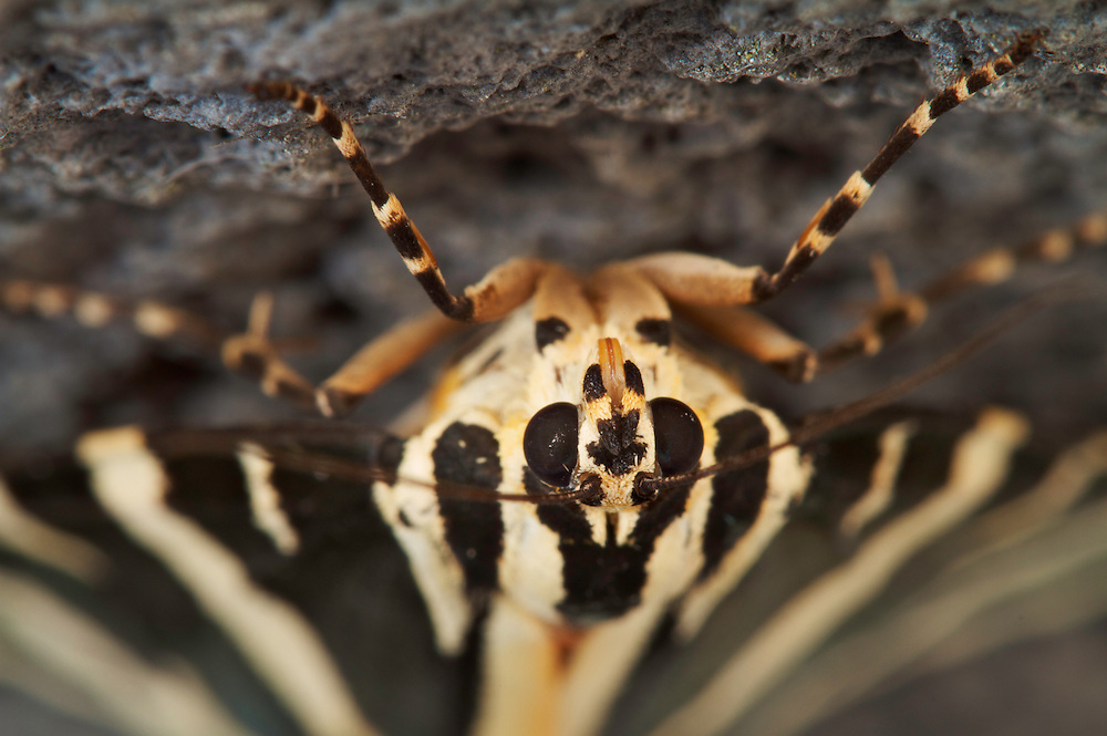 Jersey Tiger (Euplagia quadripunctaria) resting  underneath a window sill, close-up. Pont-du-Chateau, Auvergne, France.