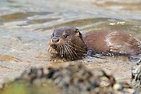Juvenile Otter close to shore,<br /> Lutra lutra,<br /> Loch Sunart, Scotland - June