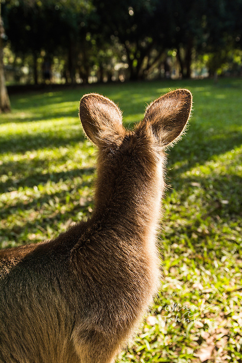 The back of an Eastern Gray Kangaroo's head and furry ears, Queensland, Australia
