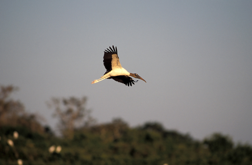 Wood Storck (Mycteria americana)  Pantanal, South of Cuiaba, Mato Grosso, Brazil