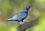Purple Glossy-starling - Lamprotornis purpureus<br /> aka Purple Starling