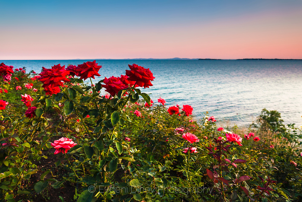 Red roses by the coast of Saint Vlas at sunset