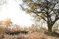 Cape Buffalo herd, Majete Wildlife Reserve, Malawi.