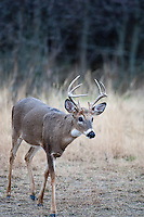 young whitetail buck9