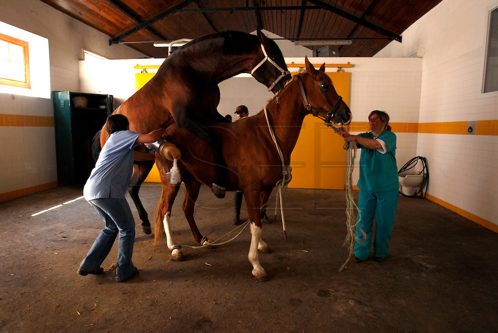 Penetration procedure is not completed to mantain the stud's good physic helth for that the mare is imobilized.