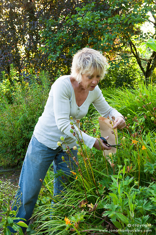 Carol Klein collecting seed from Hemerocallis lilioasphodelus AGM