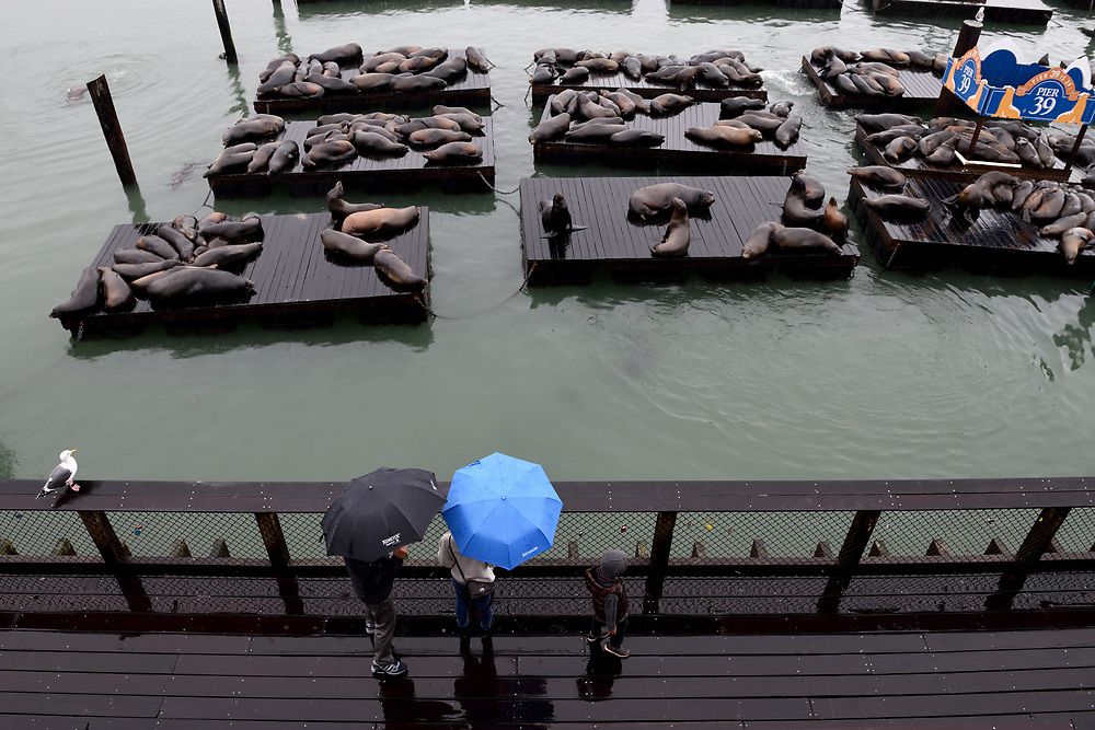 Tourists are watching Sea Lions in Pier 39 in San Francisco, California on November 16'th, 2017. Pier 39 is a shopping center and popular tourist attraction built on a pier in San Francisco, California. Photo by Gili Yaari