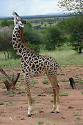 Young giraffe raising his head at Serengeti National Park is a region of grasslands and woodlands in United Republic of Tanzania