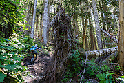 Fallen tree & roots. Goat Lake trail is in Henry M. Jackson Wilderness (Trail #647), east of Barlow Pass, in Mount Baker-Snoqualmie National Forest, in the Central Cascades, accessed from the Mountain Loop Highway, Washington, USA.