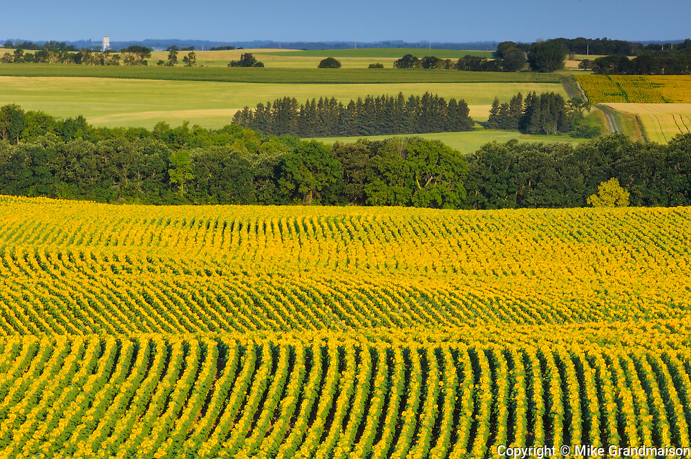 Rows of sunflowers<br /> <br /> <br /> Treherne<br /> Manitoba<br /> Canada