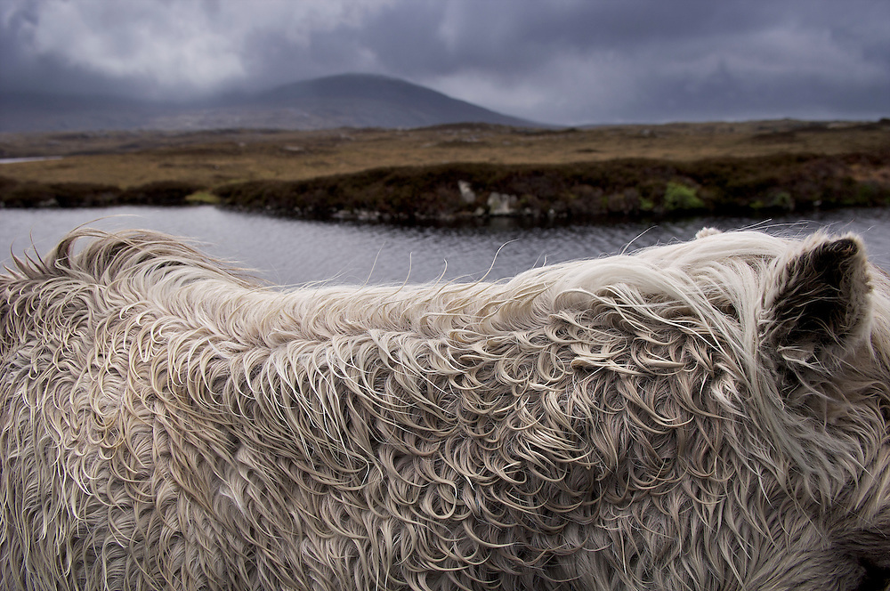 Wild ponies on the moors on the road to Skipport, North Uist, Outer Hebrides, Scotland.  Their wild coats suggest the untamed nature of the outer islands. They live in a designated natural area.