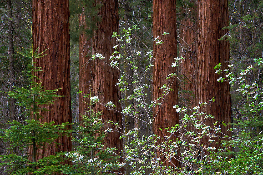 The delicate and ephemeral dogwood blossoms vie for<br /> attention with the tall, rugged and ever present sequoia<br /> trees. While these two subjects represent contrasting<br /> sentiments, they seem to exist in perfect harmony.<br /> HARMONY was made at Sequoia National Park in<br /> California.