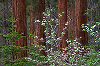 The delicate and ephemeral dogwood blossoms vie for<br />