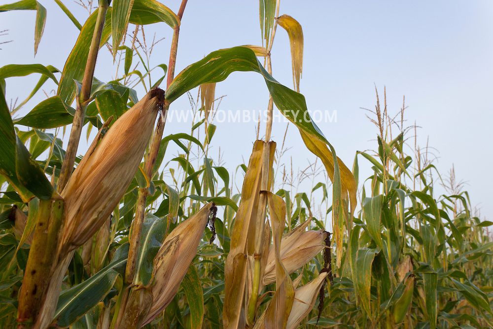 Wawayanda, New York  - Corn grows in a farm field on Sept. 21, 2013. ©Tom Bushey / The Image Works