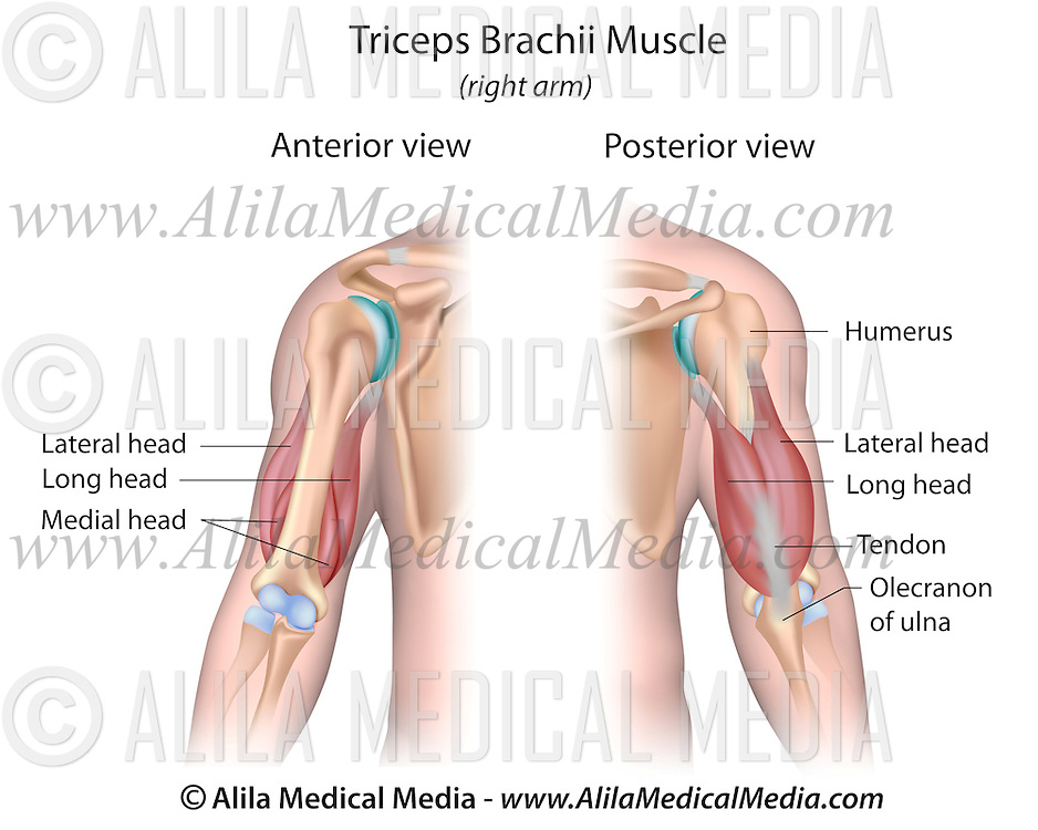 Triceps Brachii Muscle Alila Medical Images
