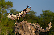 Osprey landing on a nest built in the top of a decaying cypress tree