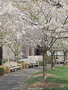 flowering cherry trees in park downtown Manhattan NYC