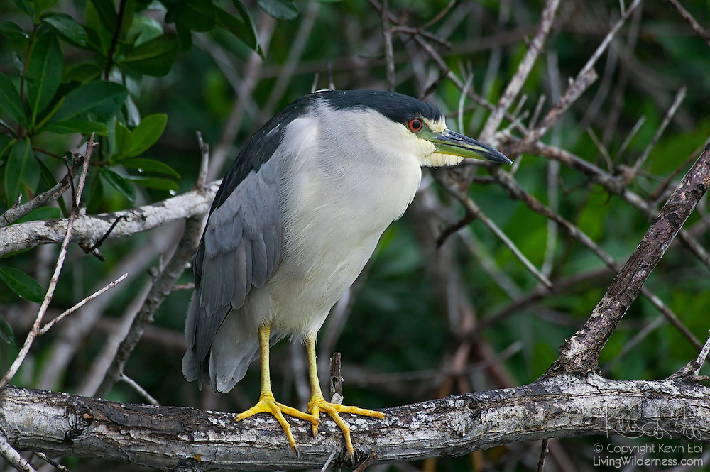 A black-crowned night heron (Nycticorax nycticorax) rests in a tree near the Flamingo Marina in the Everglades National Park, Florida. Night herons hunt mainly at night, standing at the water's edge to catch small fish, frogs, and insects..