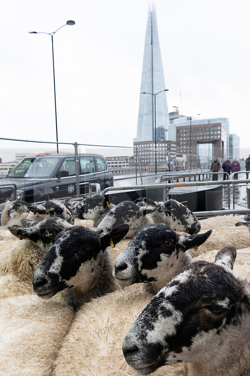 © Licensed to London News Pictures. 29/09/2019. London, UK. A flock of North of England Mules are driven across London Bridge. The British tradition dating hundreds of years sees Freeman of the City of London take up their historic entitlement to drive their sheep over the bridge whilst raising tens of thousands of pounds for the Lord Mayor's Appeal and the Woolmen's charity. Photo credit: Ray Tang/LNP