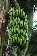 Bananas grow near Sarchi, Costa Rica. Photograph by Dennis Brack