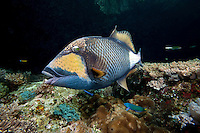 Titan Triggerfish getting cleaned.Shot in West Papua Province, Indonesia