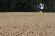 Wheat, crop, harvest, arable, farming, field, wheaten, flour, ripe,