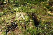 Naturpark Schwarzwald Mitte-Nord..Glaswaldsee (Bergsee im Nadelwald), Baumstumpf mit Moos am Seeufer